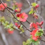 ボケ(木瓜 Chaenomeles speciosa)の特徴と育て方や花言葉