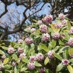 ジンチョウゲ(沈丁花 daphne)の特徴と育て方や花言葉 誕生花