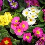 プリムラ(Primula)の特徴と育て方や花言葉