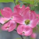 日米親善の花木 ハナミズキ(花水木 Dogwood)の特徴と育て方や花言葉