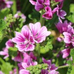 ウスベニアオイ(薄紅葵 Common mallow )の特徴と育て方や花言葉