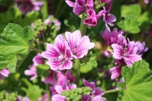 ウスベニアオイの花