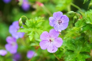小花がかわいいゲラニウム(フウロソウ)