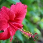 鮮やかなハイビスカス(仏桑花 琉球木槿 Hibiscus)の特徴と育て方や花言葉 誕生花