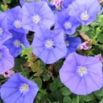 コンボルブルスの特徴と育て方や花言葉