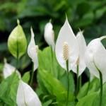 涼し気なスパティフィラム(笹団扇 Spathiphyllum)の特徴と育て方 花名の由来と花言葉