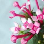 ブバルディア(ブバリア bouvardia)の特徴と育て方や花言葉 誕生花