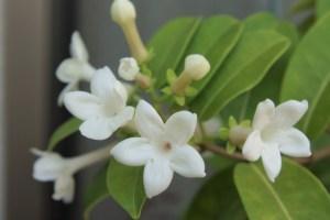 マダガスカルジャスミンの特徴と育て方や花言葉