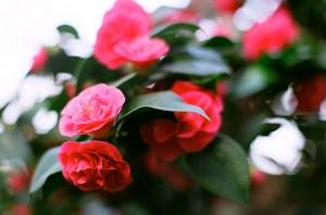 ツバキ、Camellia