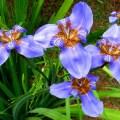 アヤメ科、Iridaceae