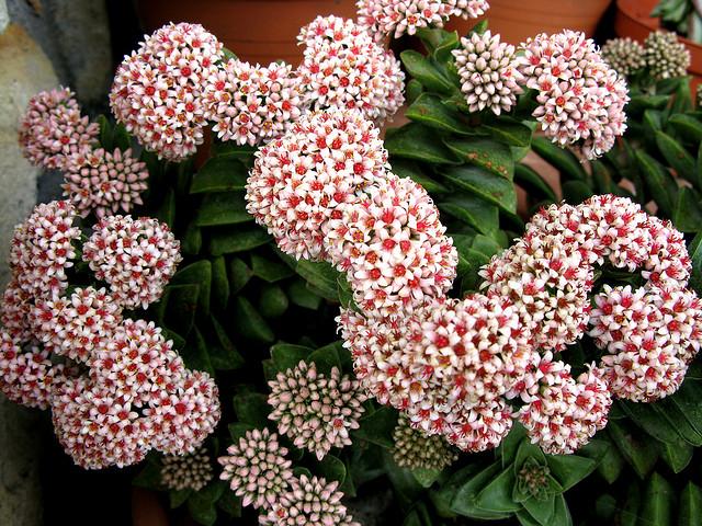 ベンケイソウ科、Crassulaceae