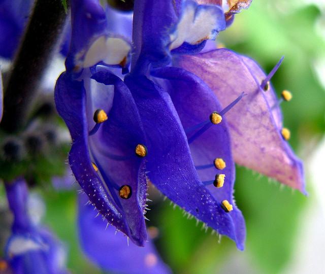 シソ科、Lamiaceae