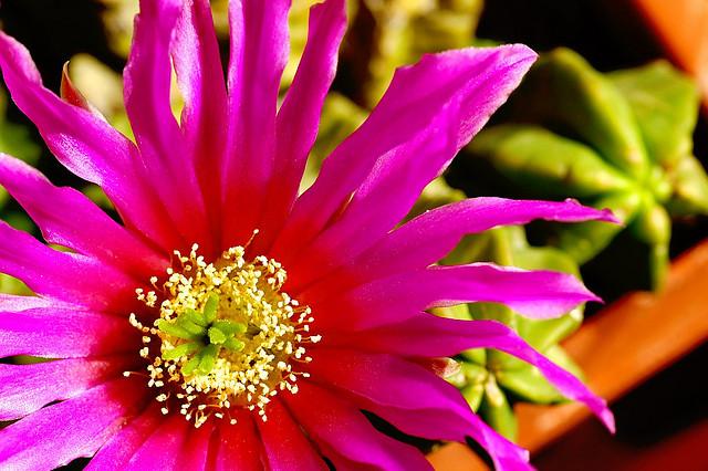サボテン、Cactus