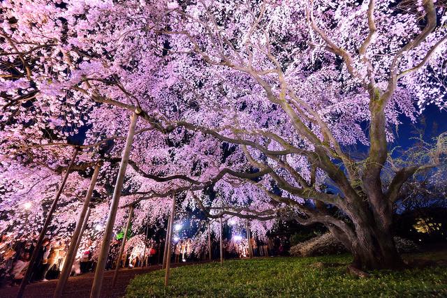 Cherry blossom_01