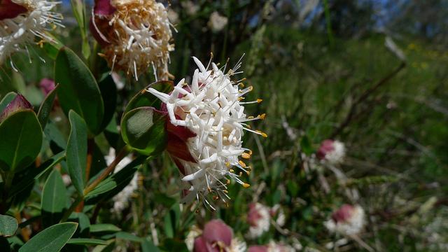 ジンチョウゲ科、Thymelaeaceae