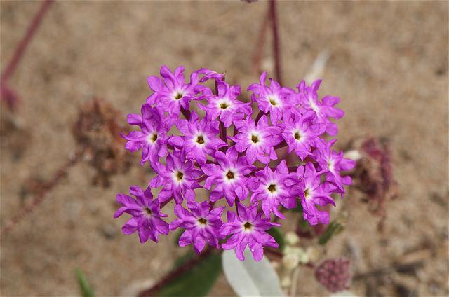 オシロイバナ科、Nyctaginaceae
