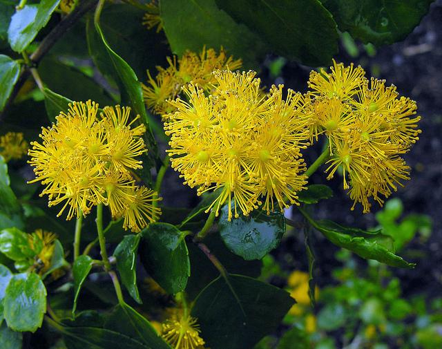 ヤナギ科、Salicaceae