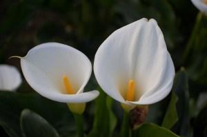 カラー、Calla lily