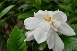 クチナシ、Cape jasmine
