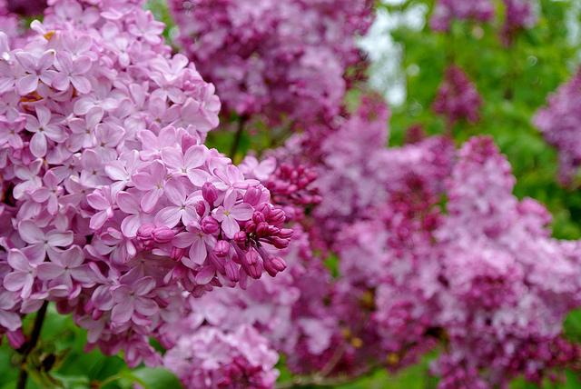 ライラック、Lilac