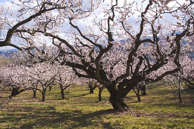 杏、Apricot blossom