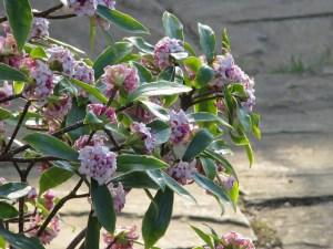 沈丁花、Daphne odora