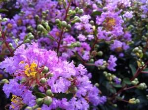 紫の百日紅の画像-03