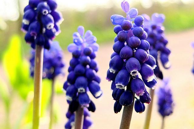 ムスカリ、Grape hyacinth