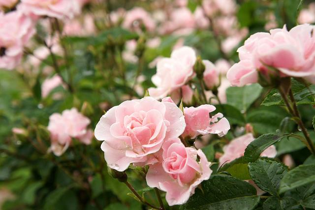 5月の花画像花言葉誕生花色 花言葉 由来