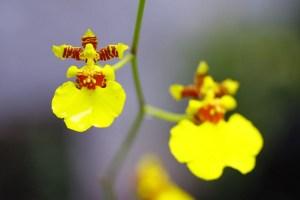 オンシジューム、Dancing lady orchid
