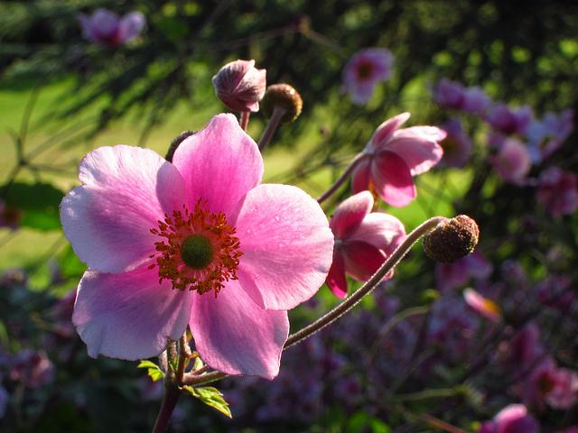 シュウメイギク、Japanese anemone