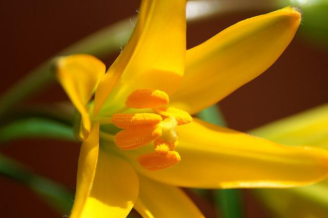 ヒメユリ、Morning star lily