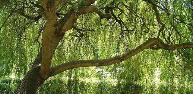 ヤナギ、Willow