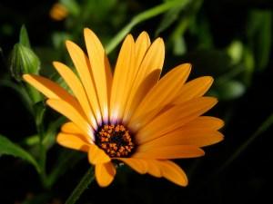 ディモルフォセカ、Cape marigold