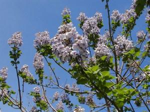 キリ、Empress tree