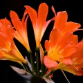 クンシラン、Kaffir lily