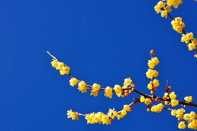 1月の誕生花