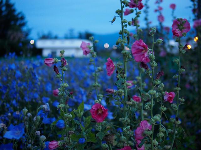 6月の誕生花