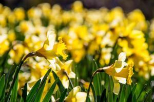 ラッパズイセン、Daffodil