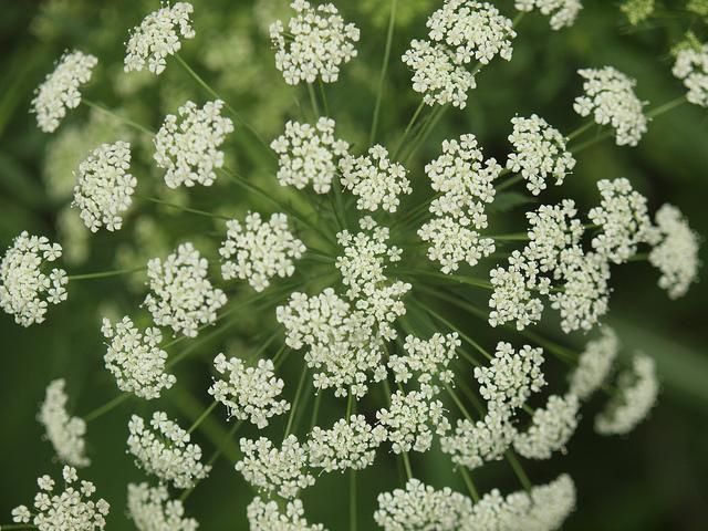 Bishop's weed-01