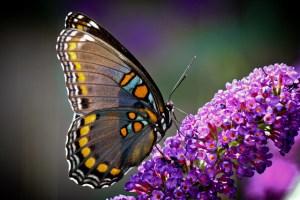 Butterfly bush-02