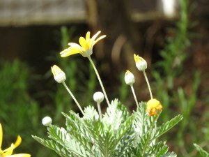 Gray-leaved euryops-02