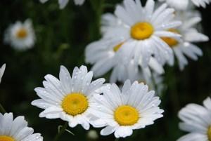 Shasta daisy-03