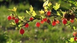 Ribes-Gooseberry-01