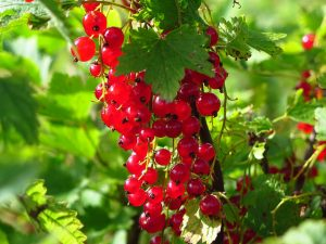 Ribes-Redcurrant