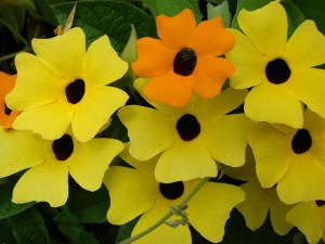 Black-eyed Susan vine-01