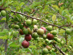 Japanese plum_02