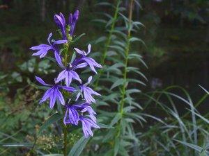 Lobelia sessilifolia-01