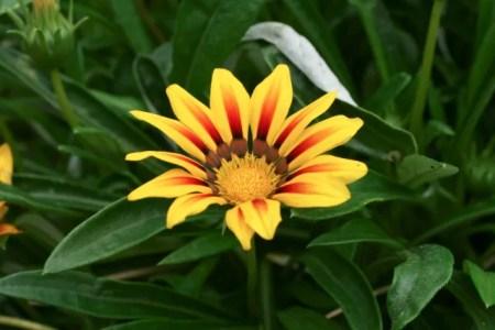 ガザニアの花が咲かない原因は?育て方や株分けでの増やし方も紹介!6