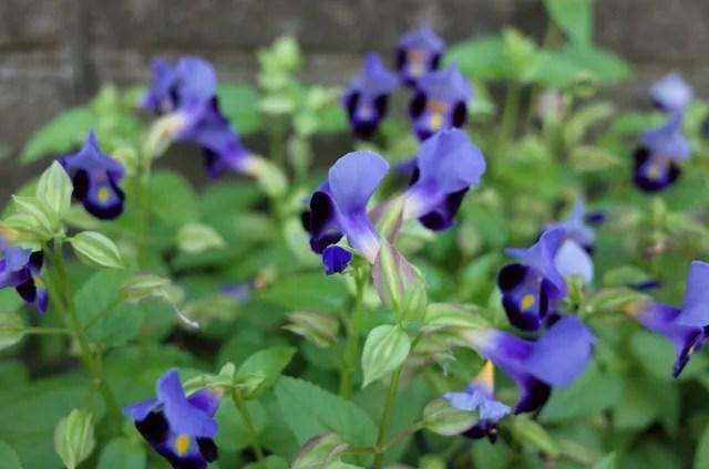 トレニアは日陰の夏の花壇でも育つ!増やし方や冬越しの方法は?5